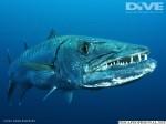 Barracuda mares tropicales