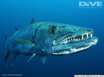 Barracuda mares tropicales